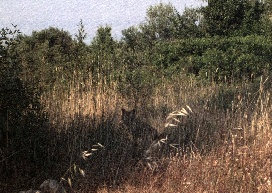 Foto macchia mediterranea con raro avvistamento diurno di volpe